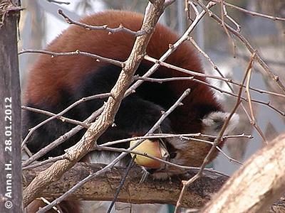 Mahalia und Apfel