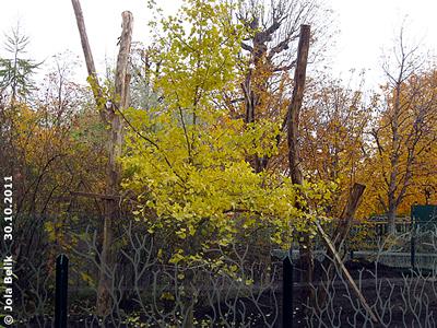 Gingko-Baum