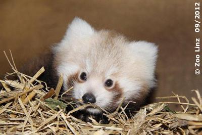 Panda-Baby
