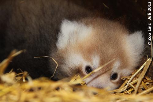 Panda-Baby Zoo Linz