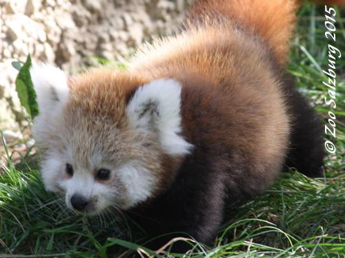 Panda-Mäderl