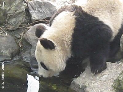 Fu Long trinkt Wasser aus dem Teich, 7. Februar 2007