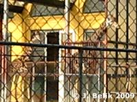 Giraffen schnuppern Frühlingsluft, 7. Februar 2009