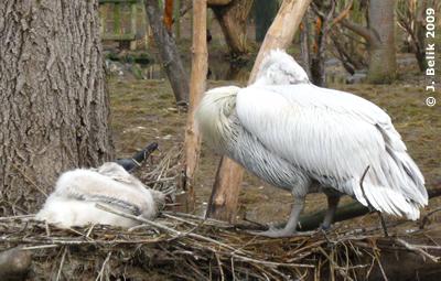 Pelikan Junior (links) wächst und wächst ..., 7. Februar 2009