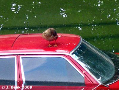 Eine Ente macht es sich auf Auto im Nashornpool bequem, 1. Juli 2009