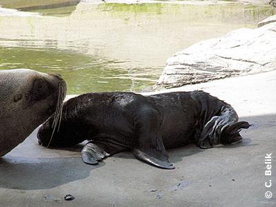 Robbenbaby mit Mama, 26. Juli 2009