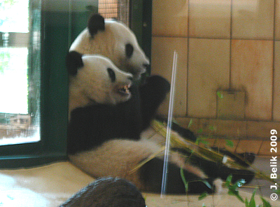 Fu Long (li) mit Mama Yang Yang (re), 8. September 2009
