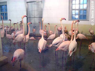 Die anderen Flamingos ignorierten Gekonnt die beiden Streithähne, 2. Jänner 2010