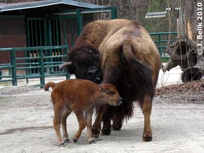 Bisonkalb, 29. März 2010
