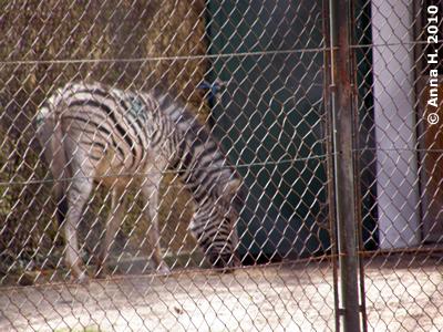 Zebra, 28. März 2010