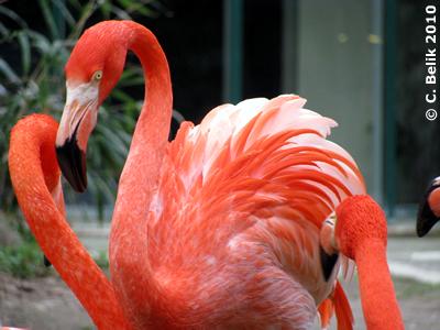 Flamingo, 28. März 2010