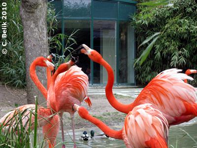 Jeder gegen jeden? Flamingos, 28. März 2010