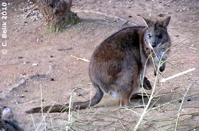Parmakänguru mit Baby im Beutel, 26. März 2010