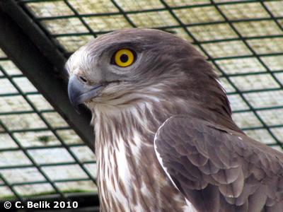 Schlangenadler, 28. März 2010