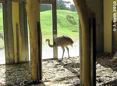 Ein Nundau zu Besuch bei den Tapiren (beide schlafen auf dem Foto nicht sichtbar rechts vorne in der Ecke), 28. Juli 2010