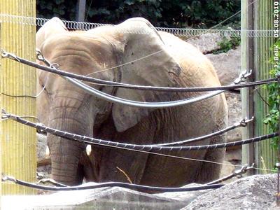 Numbi im Bullen-Bereich, am Tag vor der Geburt von ihrem 2. Baby, 5. August 2010