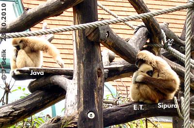 Baby E.T. mit Mama Sipura und Schwester Java, 23. Oktober 2010