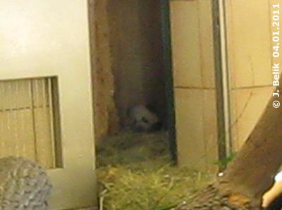Ziemlich spärliche Ausbeute nach mehr als vier Stunden im Pandahaus: Fu Hu in der Wurfbox, 4. Jänner 2010