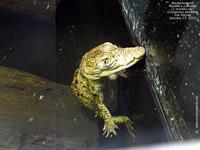 Baby-Kroko
