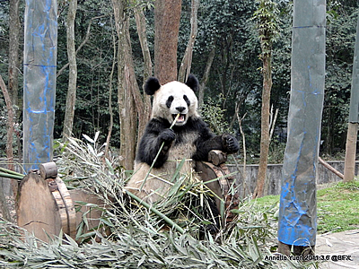 Fu Long, dreieinhalb Jahre alt, in Bi Feng Xia, 6. März 2011