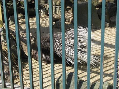 Kaukasisches Stachelschwein, 29. März 2011