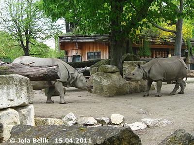 ... und zieht sich danach laut meckernd wieder zurück! Jange (li) und Sundari (re), 15. April 2011