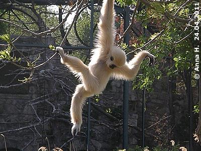 """Gibbonbub E.T. heißt nun offiziell """"Samuk"""", 24. April 2011"""