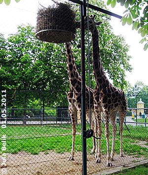Der Heukorb ist ein tolles Enrichment für die Giraffen! 1. Mai 2011