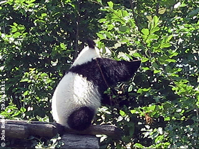 Pandababy Fu Hu, 10 Monate alt, 29. Juni 2011