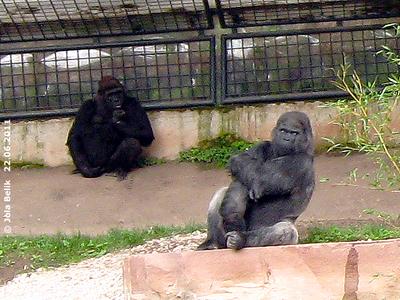 Flachland-Gorillas in der Außenanlage, Tiergarten Nürnberg, 22. Juni 2011