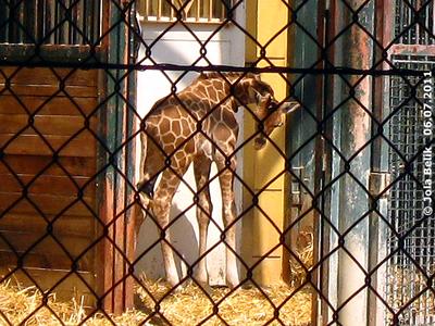 Baby Arusha, zwei Tage alt, 6. Juli 2011