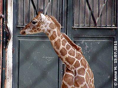Giraffenbub Arusha, 10 Tage alt, 15. Juli 2011