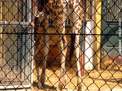 Gerade groß genug, um bei Mama trinken zu können, Arusha, zwei Tage alt, 6. Juli 2011