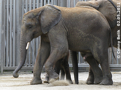 Elefantenbub Kibo, 2. Mai 2011