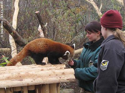Das schmeckt sooo lecker! Panda-Männchen, 23. November 2011