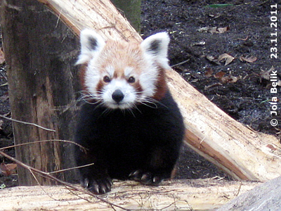 Das Panda-Männchen, 23. November 2011