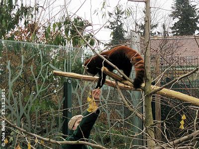 Was hast Du da, das will ich haben! Panda-Weibchen, 23. November 2011