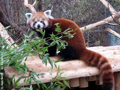 Diese Karotte schmeckt soo lecker! Panda-Weibchen, 23. November 2011