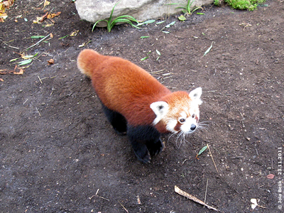 Panda-Weibchen, 23. November 2011