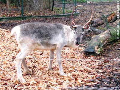 Nein, ich bin nicht Rudolf mit der roten Nase, ich bin Baby #2 mit dem windschiefen Geweih! Rentier, 23. Dezember 2011