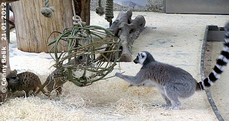 Du dort drüber, Pfote weg von MEINER Kugel! Erdmännchen und Katta, 21. Jänner 2012