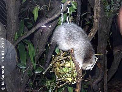 Riesenborkenratte erkundet neugierig das neue Teil in ihrem Zuhause, 19. Jänner 2012