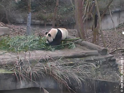 Fu Long in Bi Feng Xia, 6. Februar 2012 (Screenshot von Pandacam)