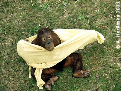 Orang-Utan Mädl Maya, sechs Jahre, Oktober 2011 im Sóstó Zoo