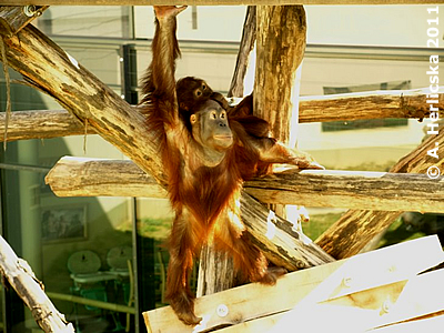 "Maya (hinten) mit ihrem ""Adoptiv-Zwillingsbruder"" Tigu (vorne), Oktober 2011, Sóstó Zoo"