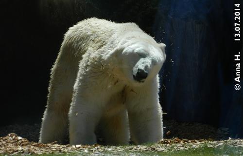 ... dann ist Ranzo ein nicht mehr ganz weißer, aber dafür ein gut riechender  Eisbär.Bub! 13. Juli 2014