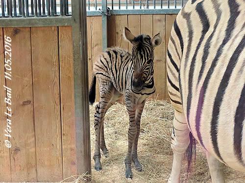 In memoriam, das kleine Zebra-Mäderl, wenige Stunden alt, 11. Mai 2016