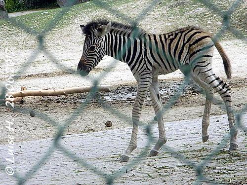 Mini-Zebra